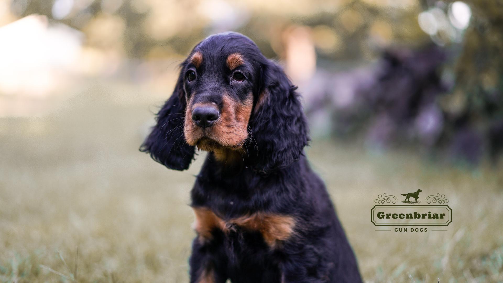 Gordon Setter puppies for sale